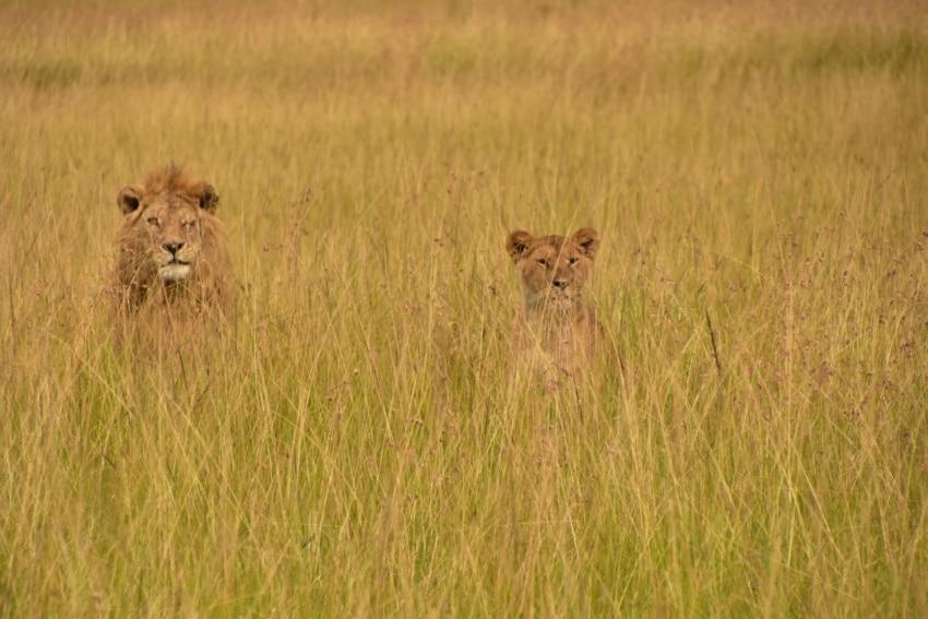 Scarface der Maasai Mara