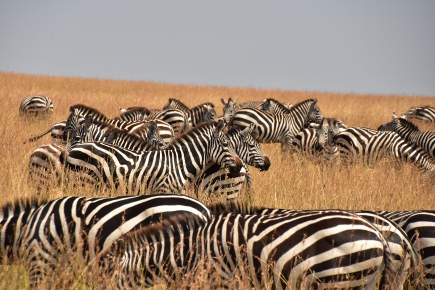 Zebraherde  in der Mara