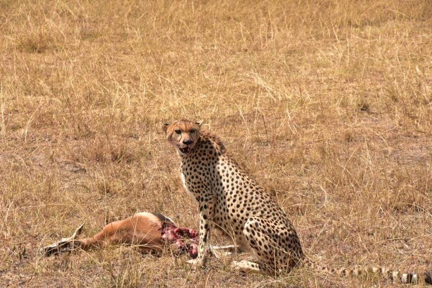 Gepard mit erlegter Beute