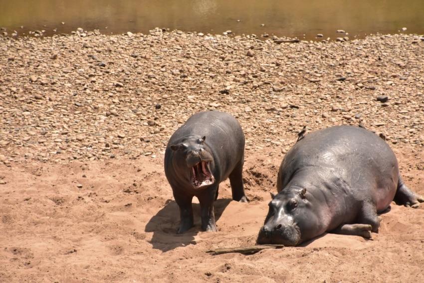 Nilpferde am Mara Fluss