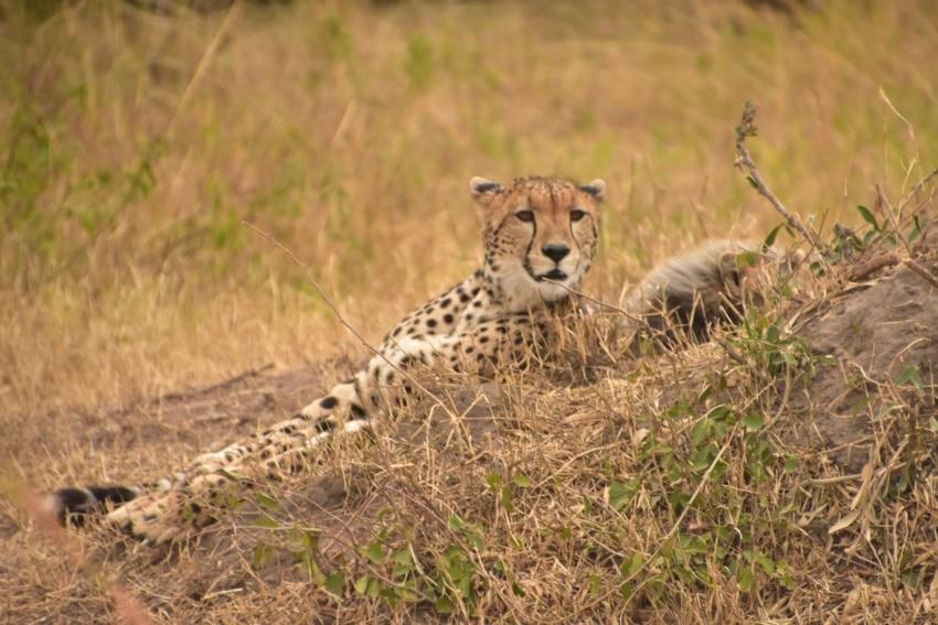 Gepard in der Mara