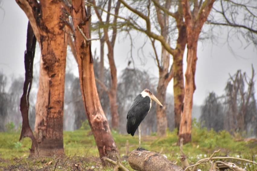 Eine der vielen Vogelarten am Naivasha See