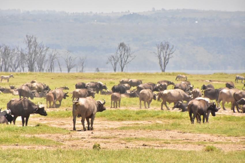 Büffelherde in Nakuru