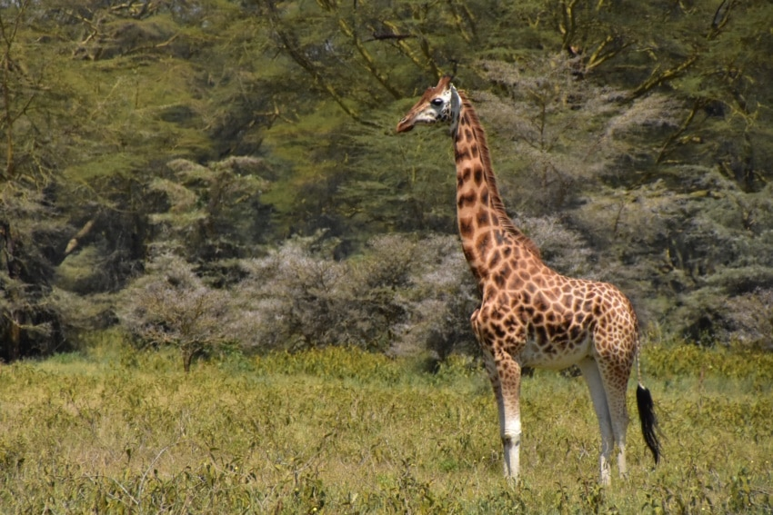 Seltene Rothschild Giraffe