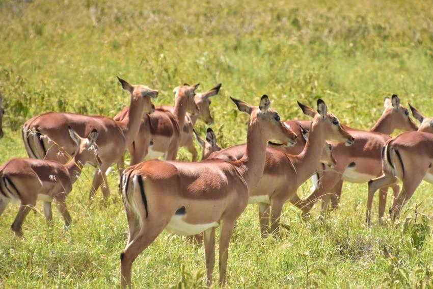 Impalas in Nakuru
