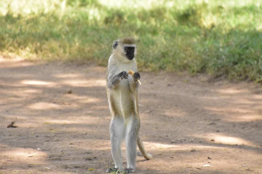 Kleiner Affe in Nakuru