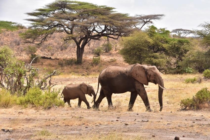 Elefanten Familie in Samburu