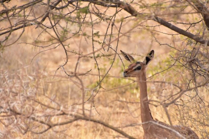 Gerenuk oder Giraffen-Hals-Antilope