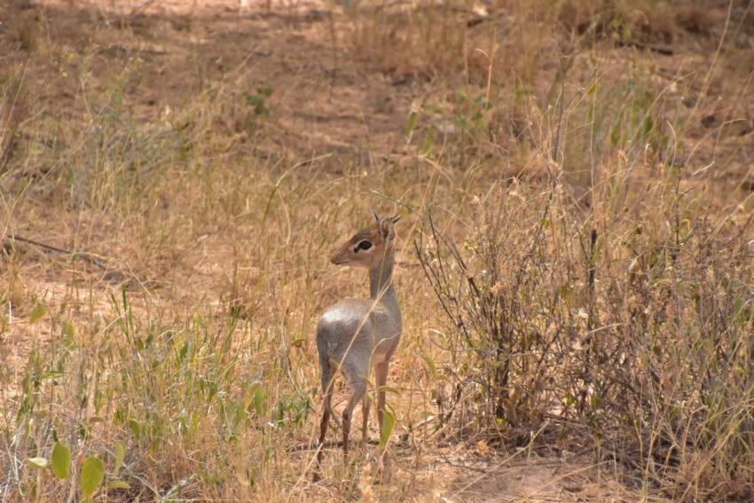 Kleiner Dik Dik in Samburu