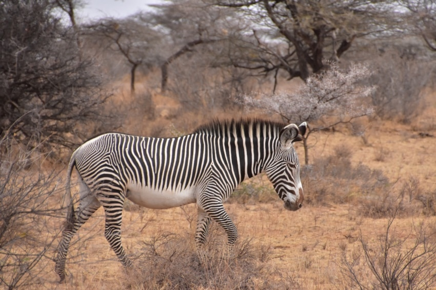 Das seltene Grevy Zebra
