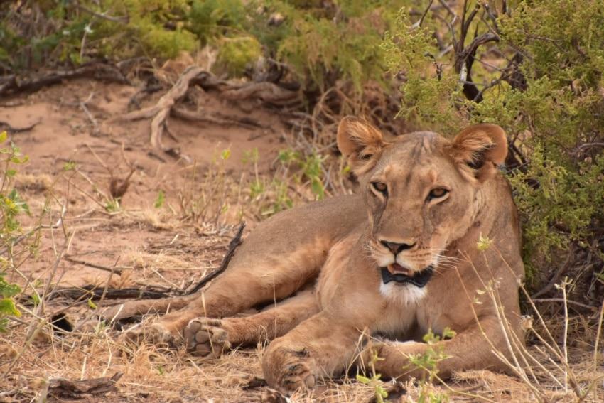 Löwin beim Relaxen