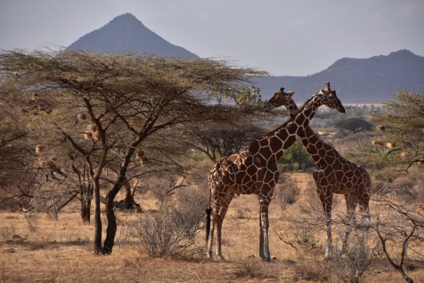 Giraffen im Samburu Nationalpark