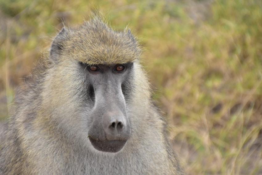 Pavian in Amboseli