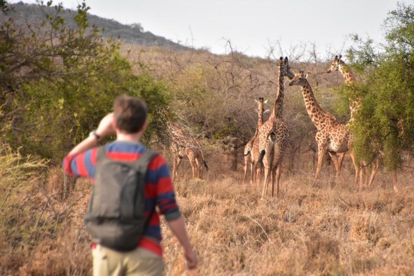 Giraffenherde bei der Walking-Safari