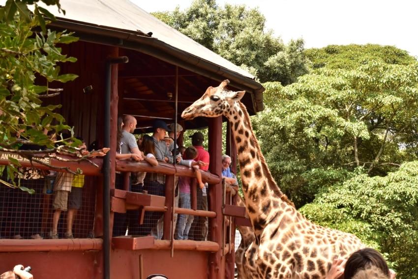 Das Giraffe Center in Nairobi