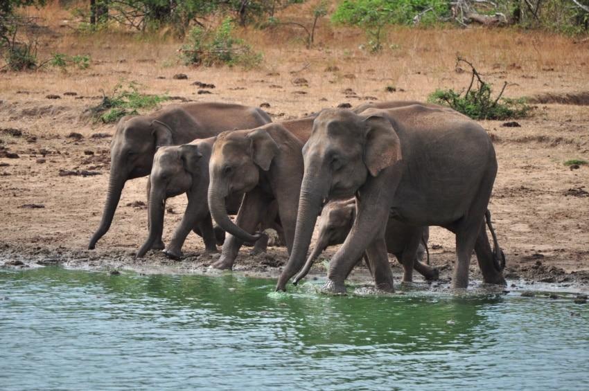 Elefanten Familie in Udawalawe