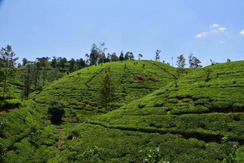 Teeanbau im Hochland